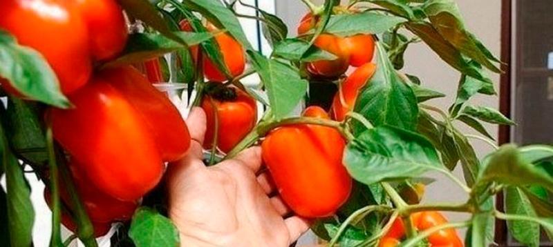 Выращивание перца на балконе: секреты и условия получения большого урожая