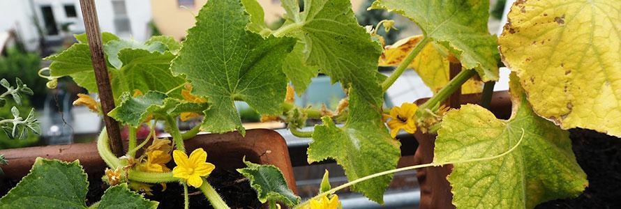 Выращивание огурцов на балконе: особенности, технология и советы специалистов