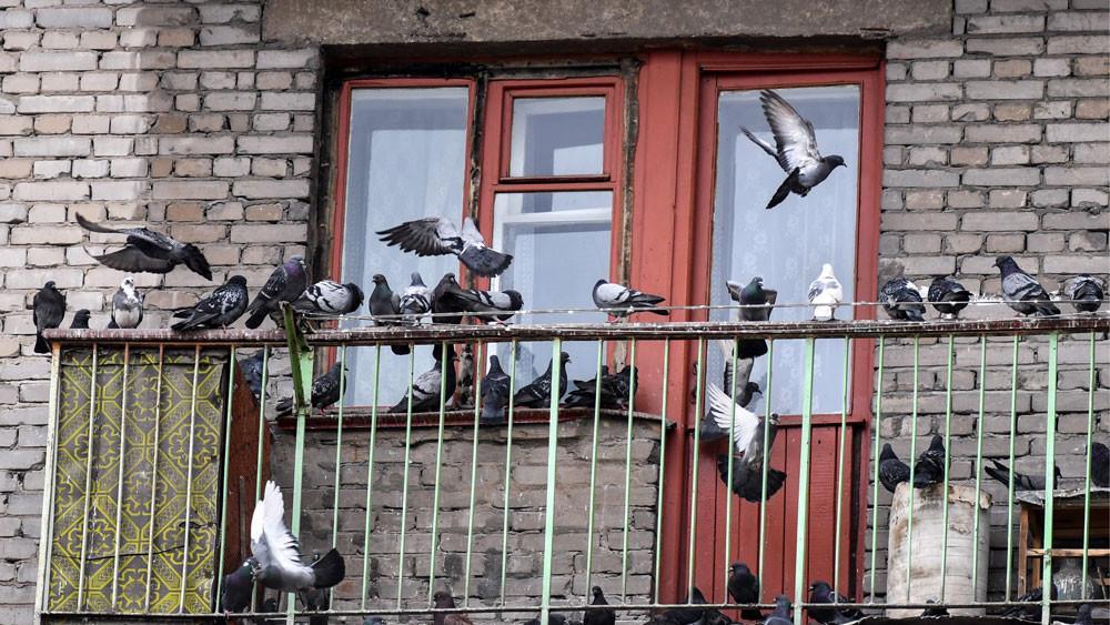 Как прогнать голубей и других птиц с балкона или лоджии избавившись навсегда